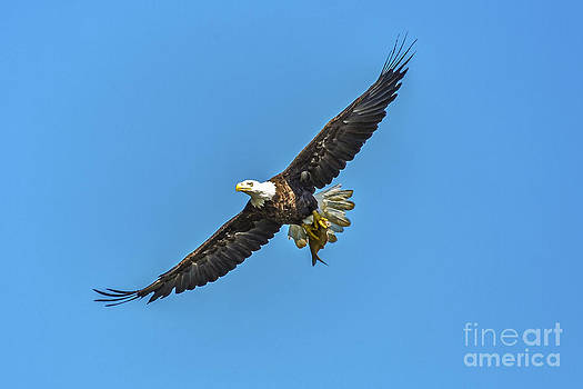 Bald Eagle Catch by Mark East