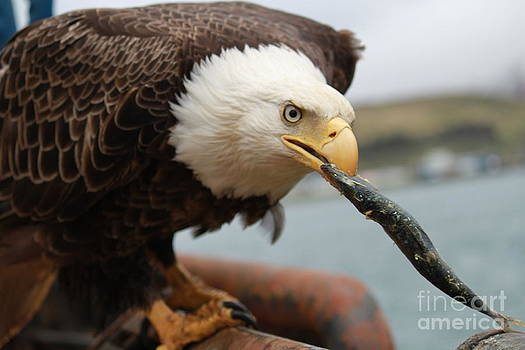 Bald eagle chomping on a fish by Dean Gribble