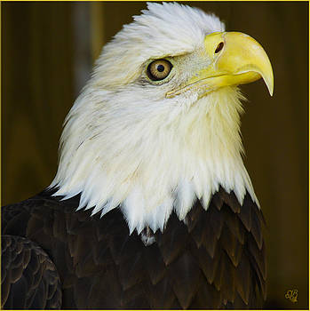 Bald Eagle Close-up by Barbara Middleton