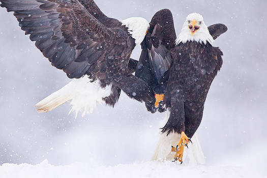 Bald Eagle Fight by Brandon Broderick