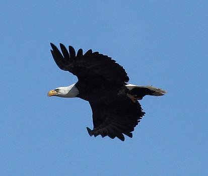 Bald Eagle by George Miller