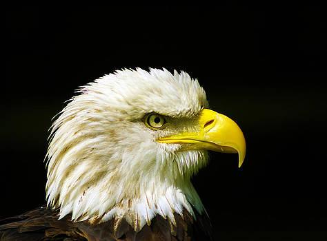 Bald Eagle by Ian Flear