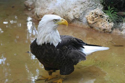 Bald Eagle in Pond by John Gans