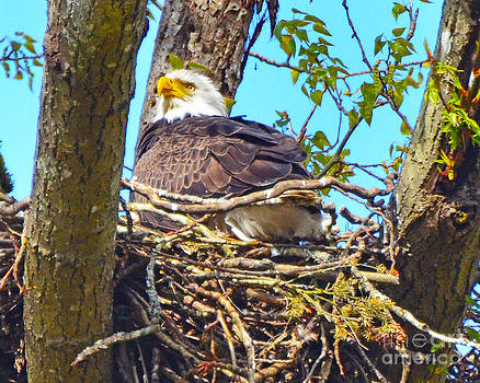 Jack Moskovita - Bald Eagle Nest 2