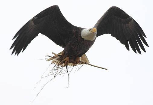 Bald Eagle  Nest work  by Glenn Lawrence
