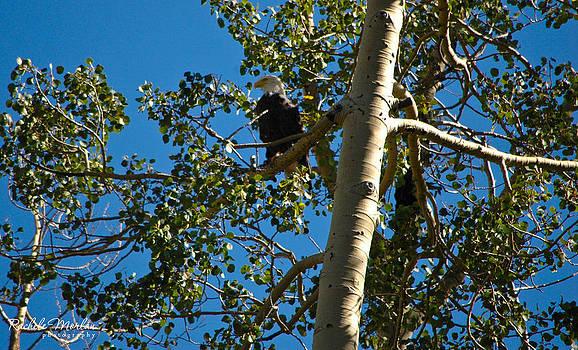 Bald Eagle by Rachele Morlan