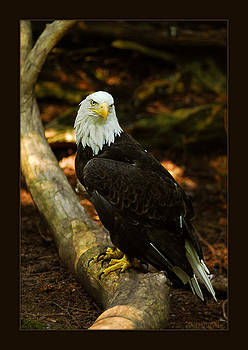 Bald Eagle by Tri Tran