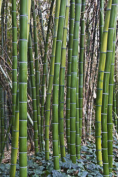 Bamboos by Molly Heng