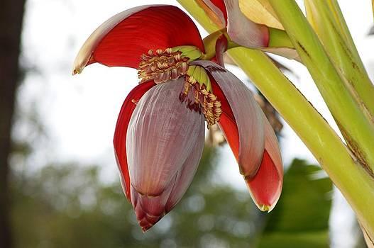 Banana flower by Meeli Sonn