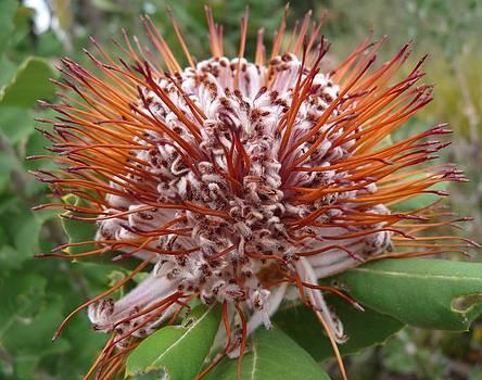 Banksia by Lynette McNees