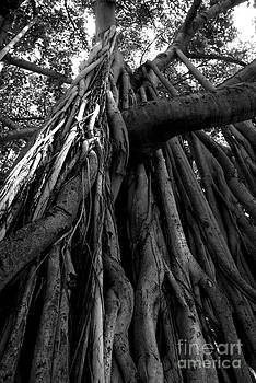 Banyan Tree by Angela DiPietro