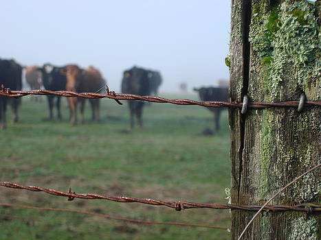 Barb Wire and Cattle 2 by Alyssa St Clair