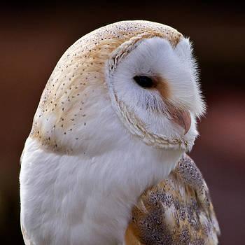 David Pringle - Barn Owl