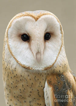 Barn Owl by Doug Herr