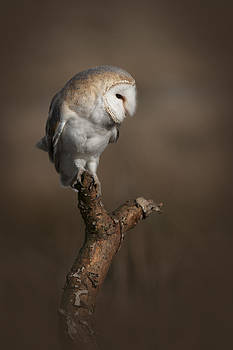 Barn Owl on the Lookout by Andy Astbury