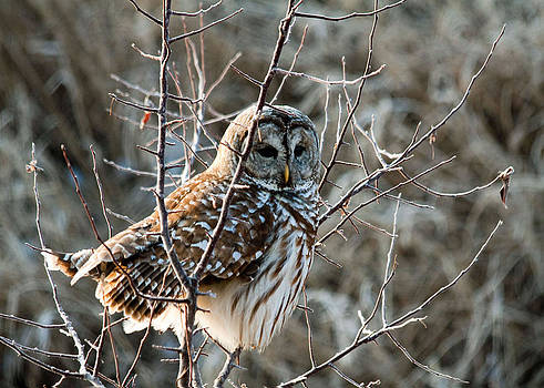 Barred Owl on the Hunt by Dan Lease
