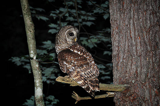 Barred Owl by Roger Phipps