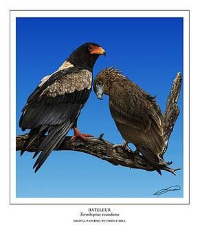 Bateleur adult and juvenile by Owen Bell