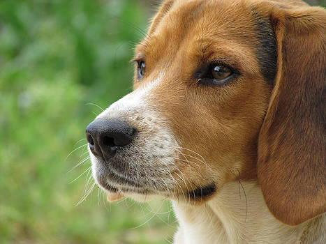 Beagle Gaze by Ginger Wemett
