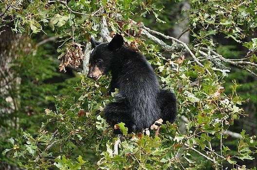 Bear in a Tree by Jeff Moose