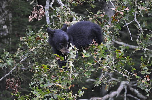 Bear in the Smokies by Jeff Moose