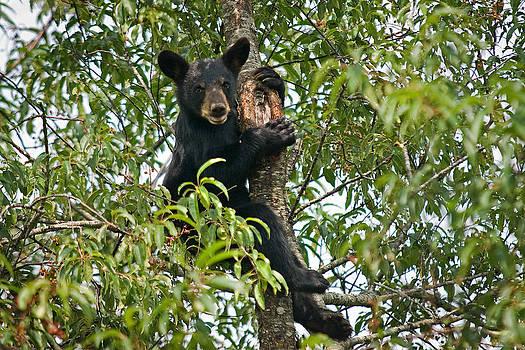 Bear by Roger Phipps