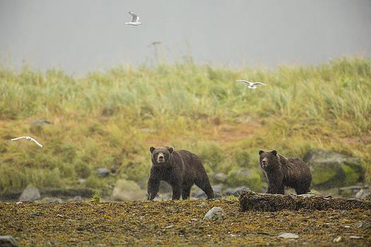 Tim Grams - Bears in the Rain