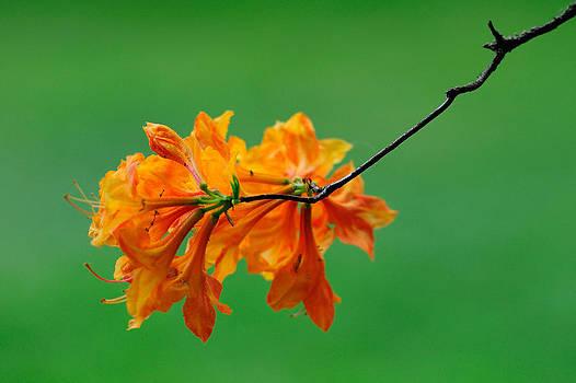 Beautiful Azaleas in green background by Hegde Photos