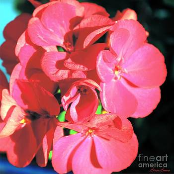 Beautiful Begonia by Lorraine Louwerse