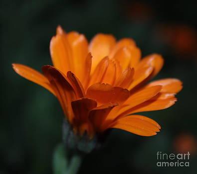 Beautiful flower  by Alexandra Bento