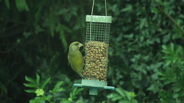 Joseph Doyle - Beautiful Greenfinch.