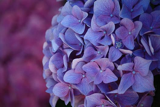 Karen Scovill - Beautiful Hydrangeas