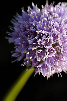 Beautiful purple flower Allium senescens by Matthias Hauser