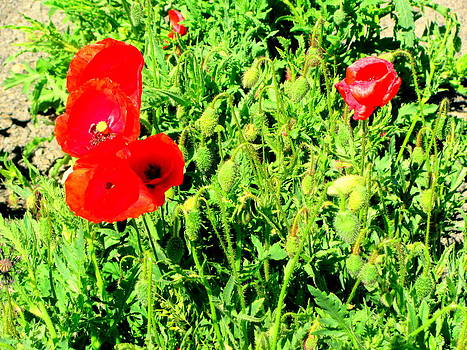 Beautiful Red Hot Summer Poppies by Amy Bradley