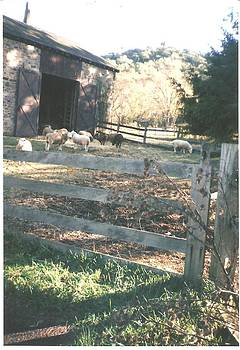 Beautiful Sheep Near Barn by Thelma Harcum