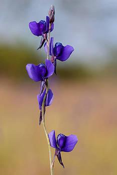 Beautiful wildflower by Panya Jampatong
