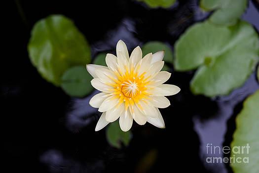 Beautiful Yellow Water Lilly  by Jantima  Cha
