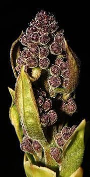 Beauty of Moscow Lilac Buds - 2 by Robert Morin