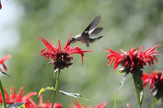 Bee Balm And Hummingbird by Jody Neugebauer