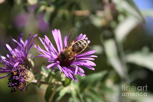 Bee closeup on a purple flower  by Robert D  Brozek