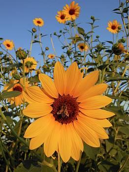 Don Kreuter - Bee in Field of Sunflowers