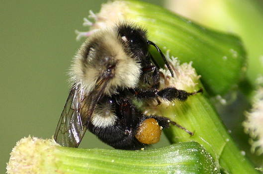 Annie Babineau - bee-ing busy