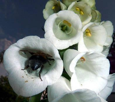 Baato   - Bee inside lupin