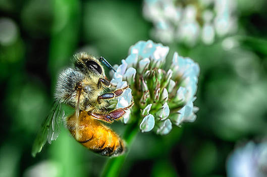Bee on Clover by James Bull
