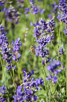 Bee on Lavender by Claire Cordier