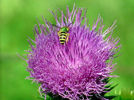Bee on Pink Thistle by Corinna Garza