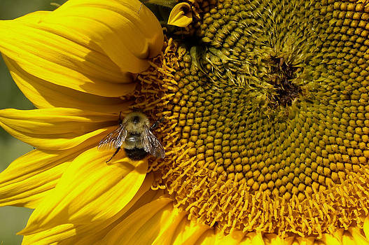 Bee on Sunflower by John Wolf