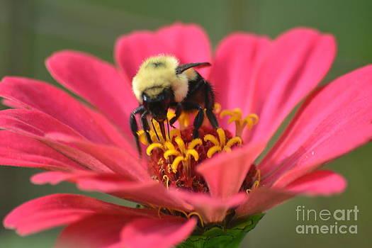 Bee on Zinnia by TommyJohn PhotoImagery LLC
