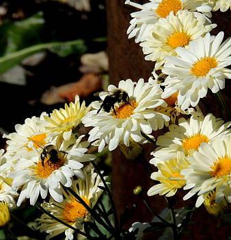 Amalia Jonas - Bees in a Daisy