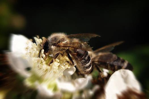 Zoran Buletic - Bees